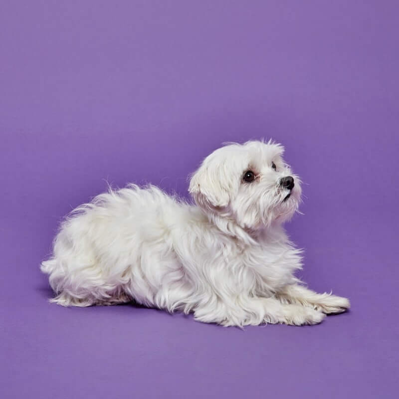 Small white dog sitting on purple backdrop
